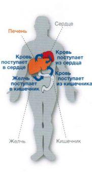 Печень как центральный орган обмена веществ